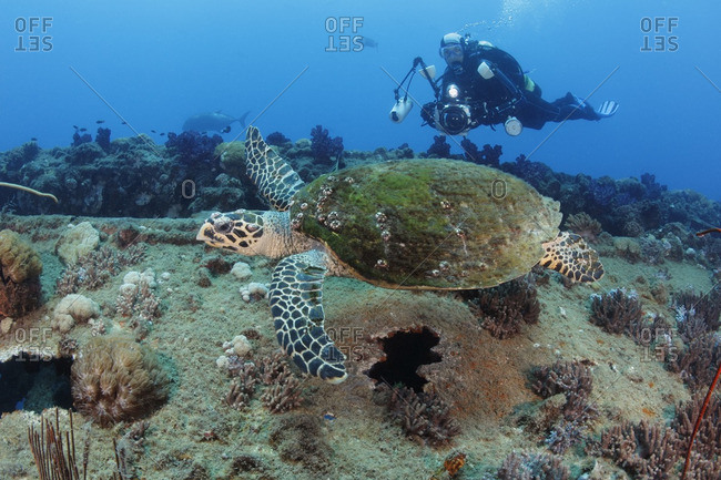 Great Barrier Reef, Australia - September 19, 2016: Hawksbill sea turtle swims overtop a shipwreck while a diver with underwater camera keeps pace