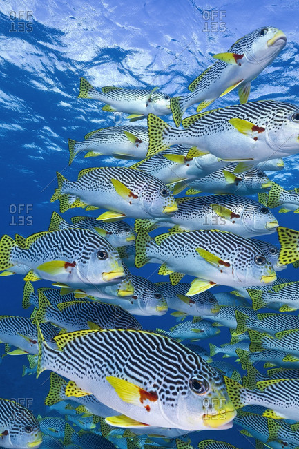 School of diagonal-banded sweetlips (Plectorhinchus lineatus), Australia