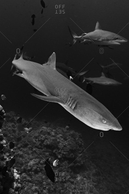 Whitetip Reef Shark (Triaenodon obesus) and Gray Reef Sharks (Carcharhinus amblyrhynchos), Australia