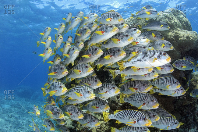 Tightly schooled diagonal-banded sweetlips (Plectorhinchus lineatus), at the Great Barrier Reef, Australia
