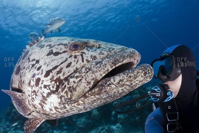 Great Barrier Reef, Australia - September 19,2016: Diver interacting with a potato cod (Epinephelus tukula)