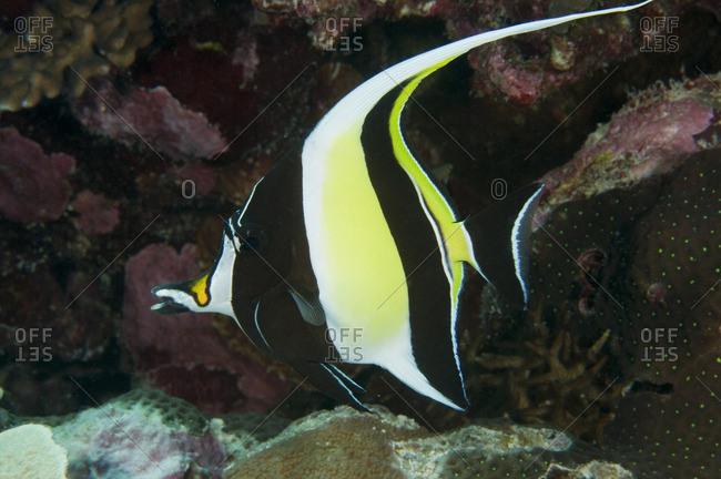 A Moorish Idol (Zanclus cornutus) tropical fish in the Great Barrier Reef, Australia