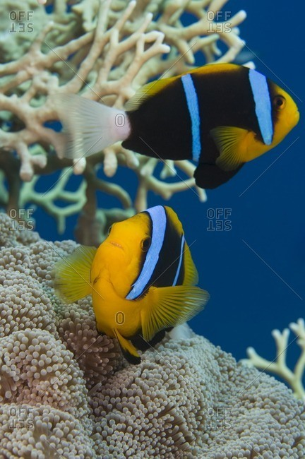 Two orange-finned anemonefish (Amphiprion chrysopterus), Great Barrier Reef, Australia