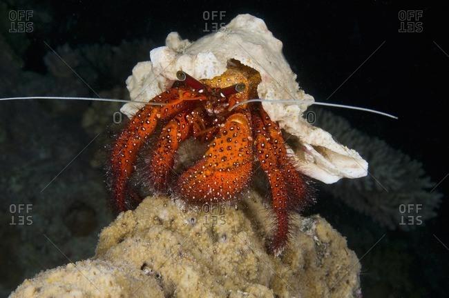 White-spotted hermit crab (Dardanus megistos) at night, Australia