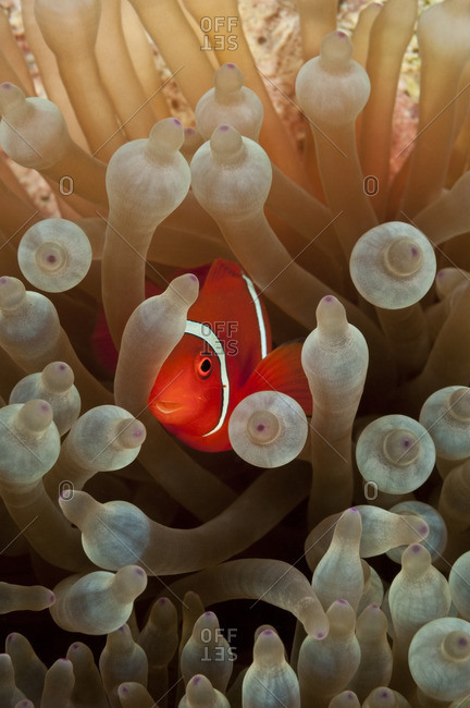 A spinecheek anemonefish (Premnas biaculeatus) living in association with bulb tentacle sea anemone (Entacmaea quadricolor), Great Barrier Reef