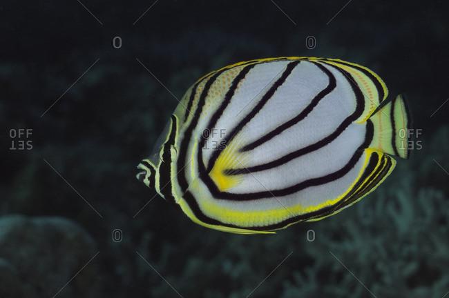Meyer's Butterflyfish (Chaetodon meyeri) in the Great Barrier Reef, Australia