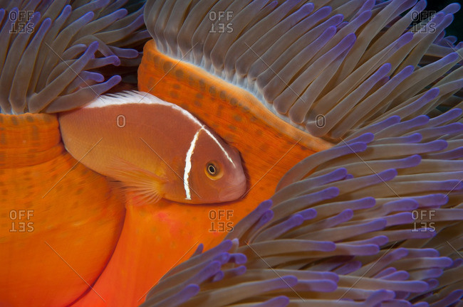 A pink anemonefish (Amphiprion perideraion) living in symbiotic association with magnificent sea anemone (Heteractis magnifica), Australia