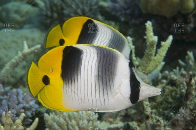 Two Pacific double-saddle butterflyfish (Chaetodon ulietensis),  Great Barrier Reef, Australia