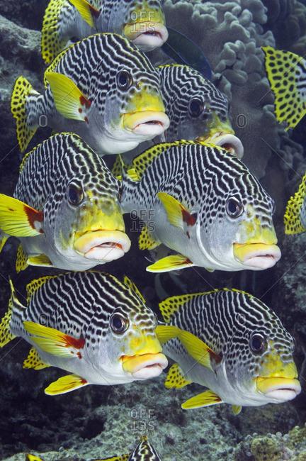 School of diagonal-banded sweetlips (Plectorhinchus lineatus) tropical fish, Australia