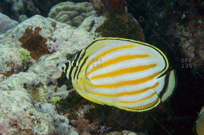 Ornate butterflyfish (Chaetodon ornatissimus), Great Barrier Reef, Australia