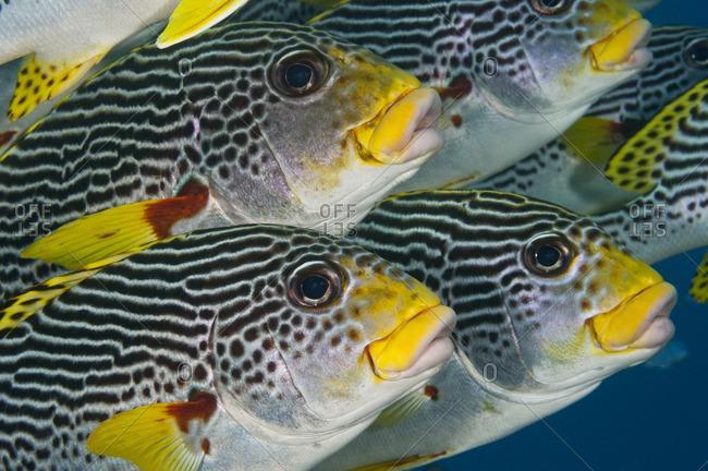 Close-up of the faces of diagonal-banded sweetlips (Plectorhinchus lineatus) tropical fish, Australia