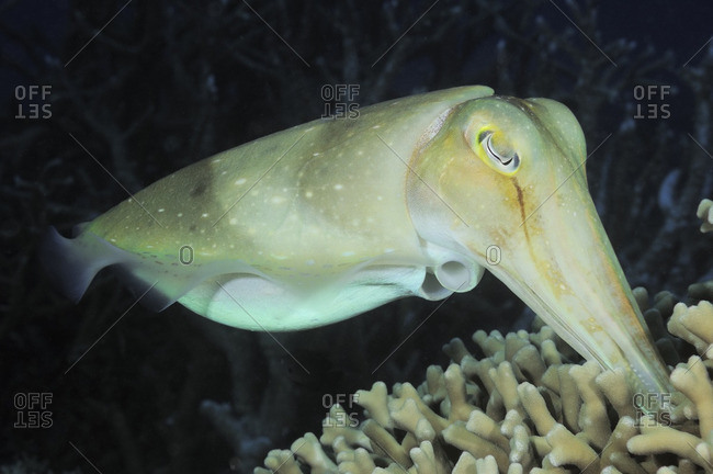 Broadclub Cuttlefish (Sepia latimanus), depositing eggs into mound of coral, Australia