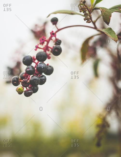 Berries hanging from a branch of pokeberry
