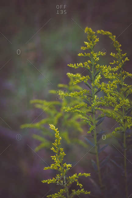Stems of goldenrod growing in a field