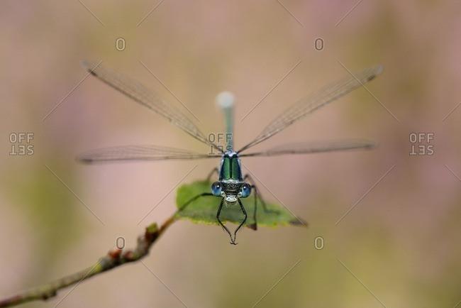 Emerald damselfly on leaf