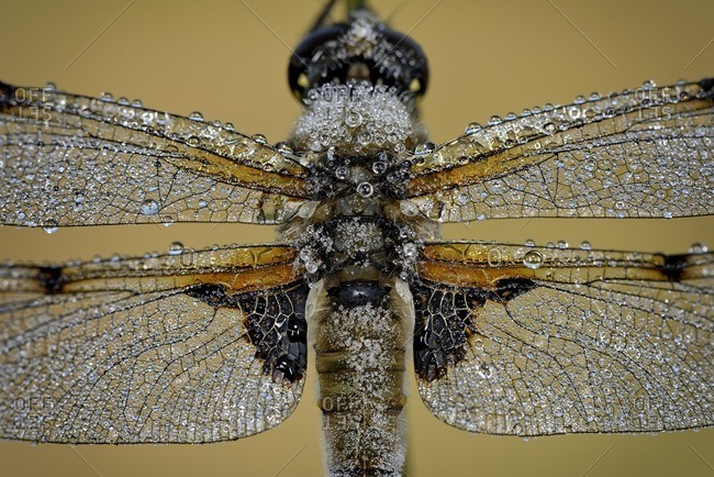 Wet Four, spotted Chaser