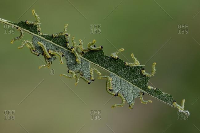 Sawfly larvas