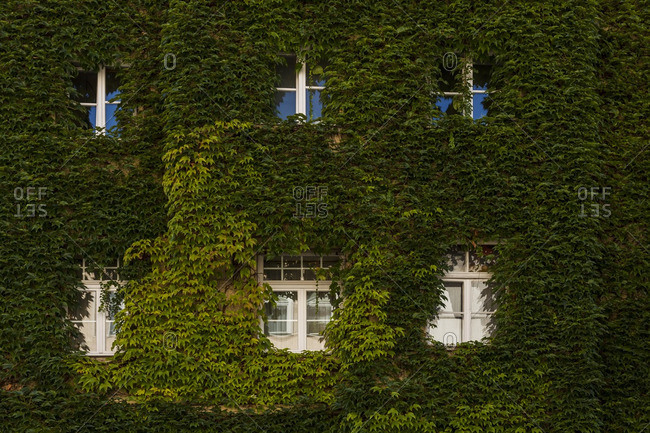 House facade covered with Japanese creeper