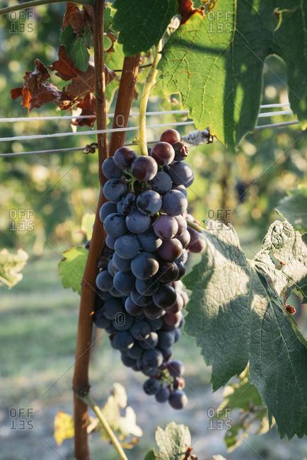 Grape cluster on the vine