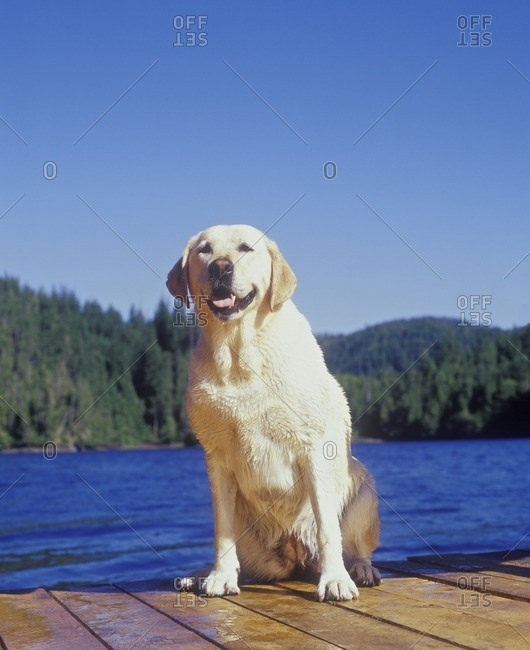 Golden Labrador sitting on a dock