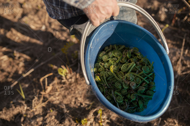 Person holding a bucket full of fiddlehead ferns