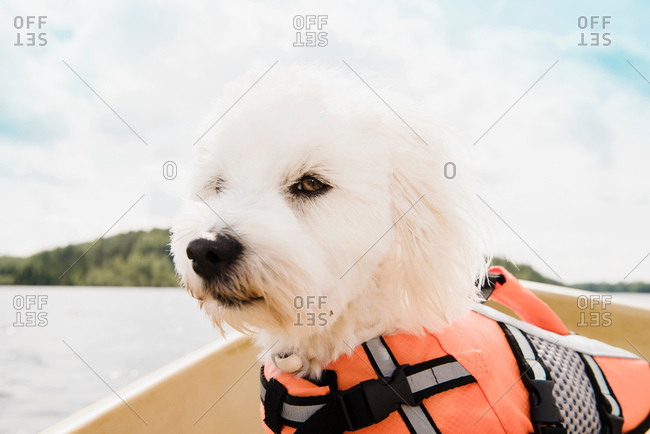 Close up portrait of coton de tulear dog wearing life jacket  on boat, Orivesi, Finland