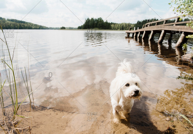 Coton de tulear dog in lake, Orivesi, Finland