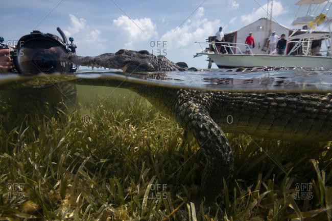 Underwater photographer near a resting American croc (Crocodylus acutus) at Chinchorro Banks, Mexico