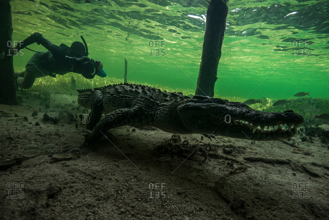 Underwater photographer chasing American croc (Crocodylus acutus) on seabed at Chinchorro Banks, Mexico