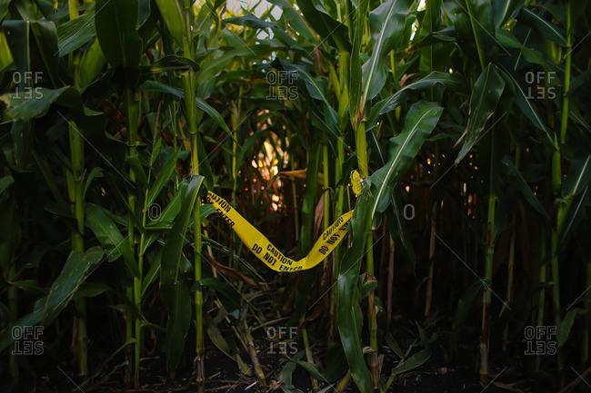 Yellow caution tape tied to a pair of cornstalks