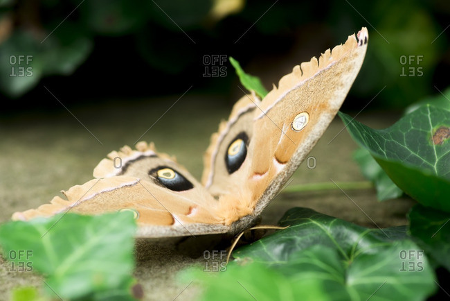 Tan moth with eye spots on its wings