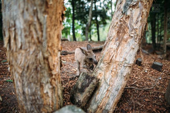 A kangaroo roams around its habitat at a wildlife preserve in Port Douglas, Australia