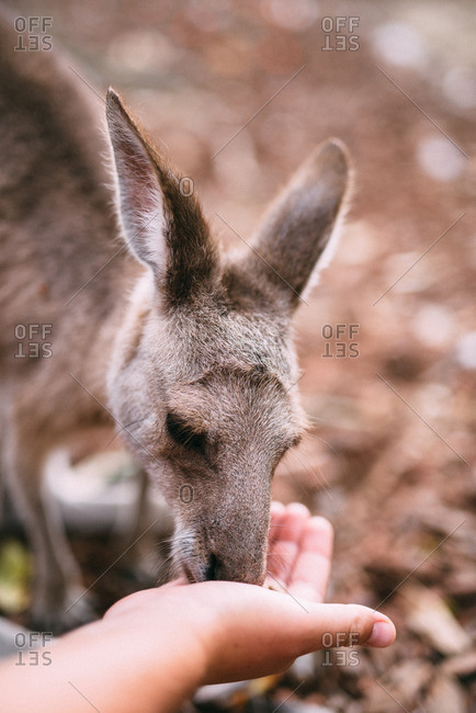 A kangaroo is fed in its habitat at a wildlife preserve in Port Douglas, Australia