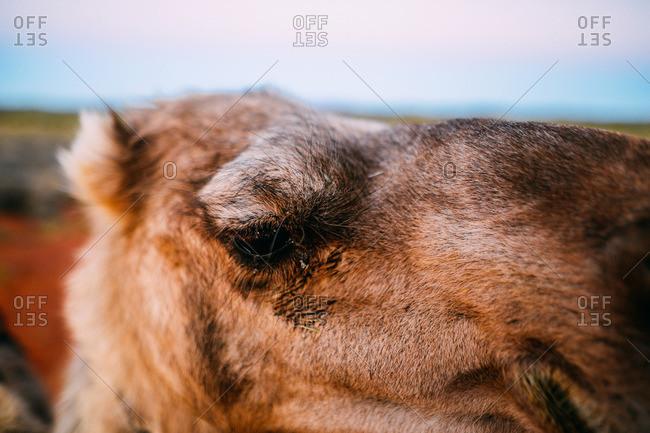 Close-up of a camel in Uluru, Australia