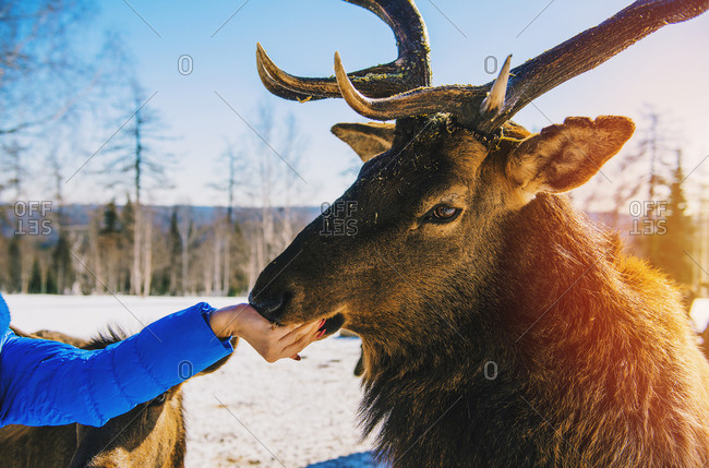Woman feeding deer from hand in winter
