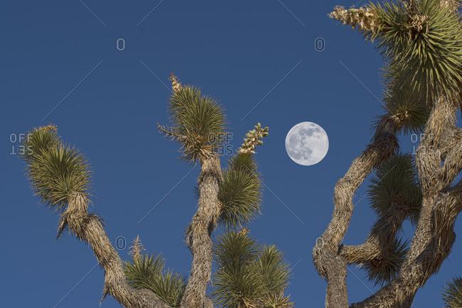 Full moon in blue sky above Joshua tree, Mojave Desert, California, United States,