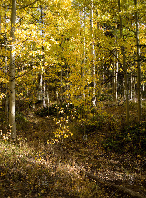 Aspen Forest in the Fall