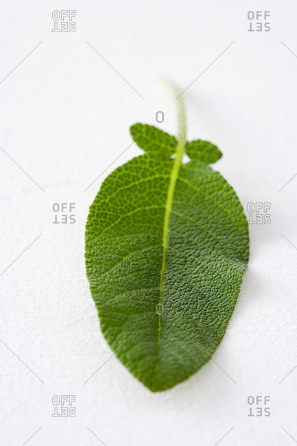 Sage leaf from the Offset Collection