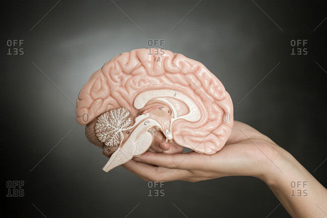 Person holding a model brain