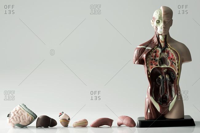 Anatomical model and internal organs