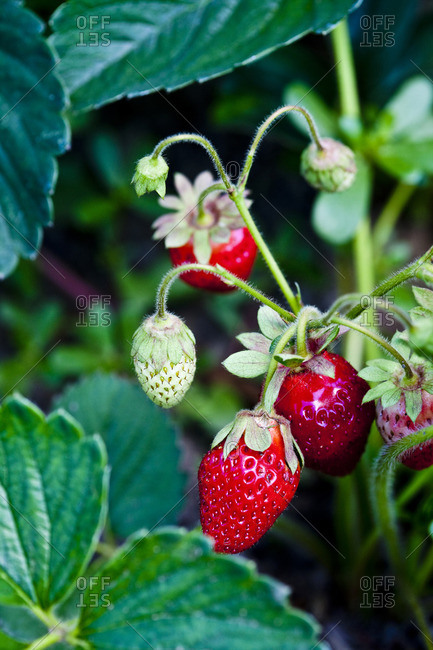 Strawberries growing from the Offset Collection