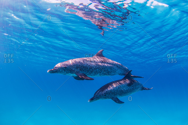 Atlantic Spotted Dolphins swimming near surface of ocean