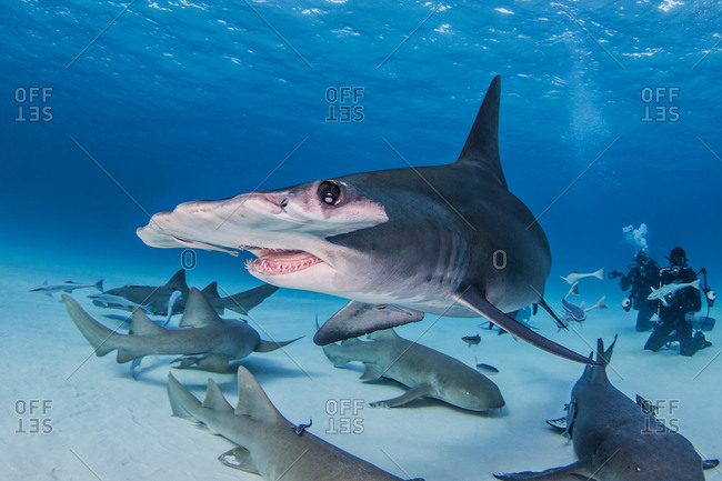 Great Hammerhead Shark with Nurse Sharks around it, divers in background