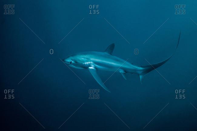 Critically endangered Thresher Shark (Alopias pelagicus) swimming in the deep water off Malapascua Island, Cebu, Philippines