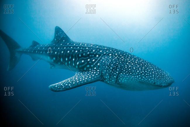 Whale Shark (Rhincodon typus) swimming in the deep water off Malapascua Island, Cebu, Philippines