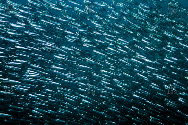 School of thousands of sardines, Moalboal, Cebu, Philippines