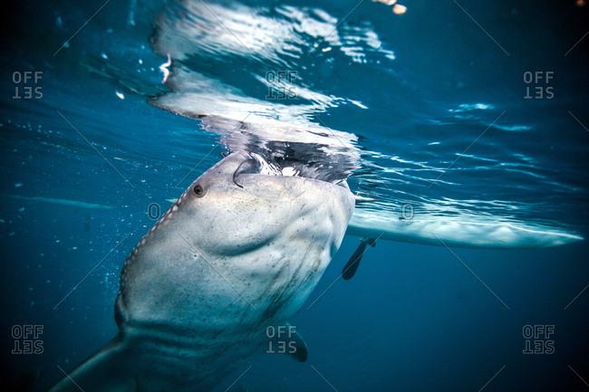 A huge Whaleshark (Rhincodon typus) swimming underneath a boat, Moalboal, Cebu, Philippines
