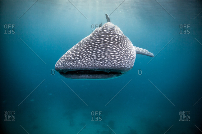 Whaleshark (Rhincodon typus) swimming in open waters, Moalboal, Cebu, Philippines