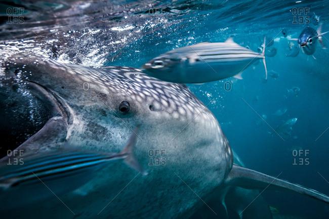 Whaleshark (Rhincodon typus) feeding on plankton alongside mackerel, Moalboal, Cebu, Philippines