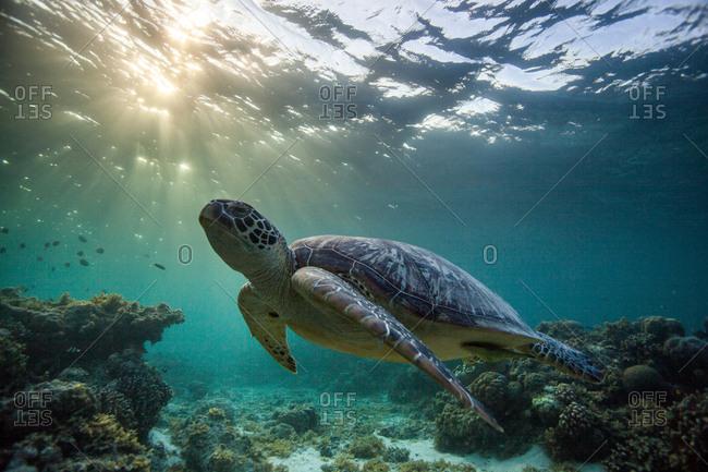 Rare green sea turtle (Chelonia Mydas), swimming in open ocean, Moalboal, Cebu, Philippines
